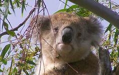 Australie. Victoria.Koala