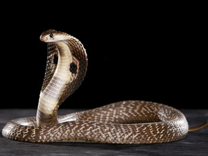 TAXOPHOBIA: LOOKING INTO THE EYE OF THE  COBRA