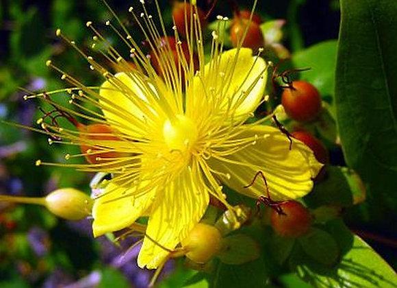 St. Joan's Wort Flower Essence