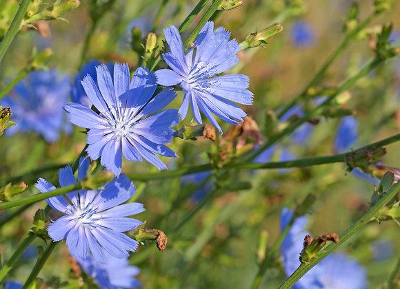 Chicory Flower Essence