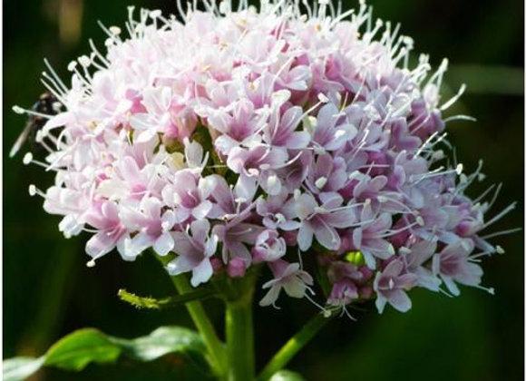 Valerian Flower Essence