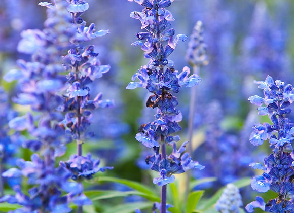 Hyssop Flower Essence