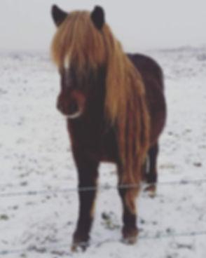 Iceland Pony 106KB.jpg