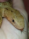 King Rat Snake