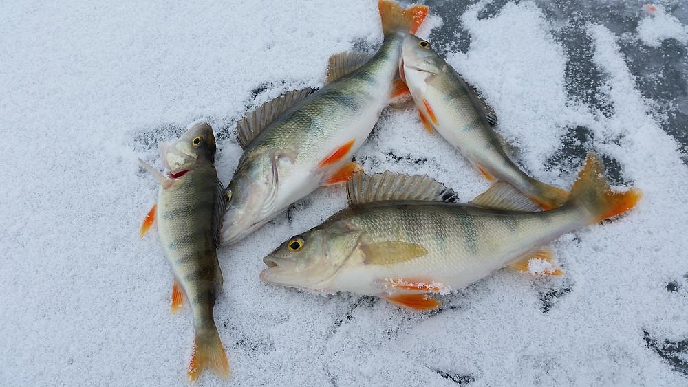 lake perch from lake minocqua