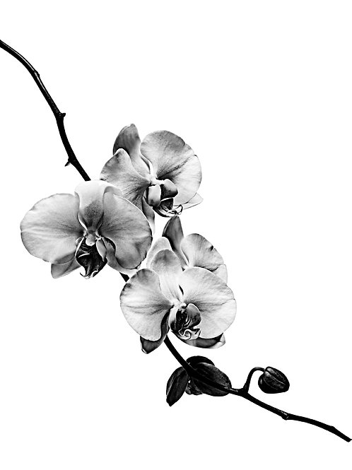 Stéphane de Bourgies - White Orchid