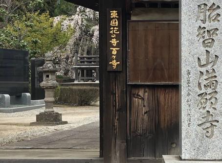 プラっと行田 満願寺しだれ桜