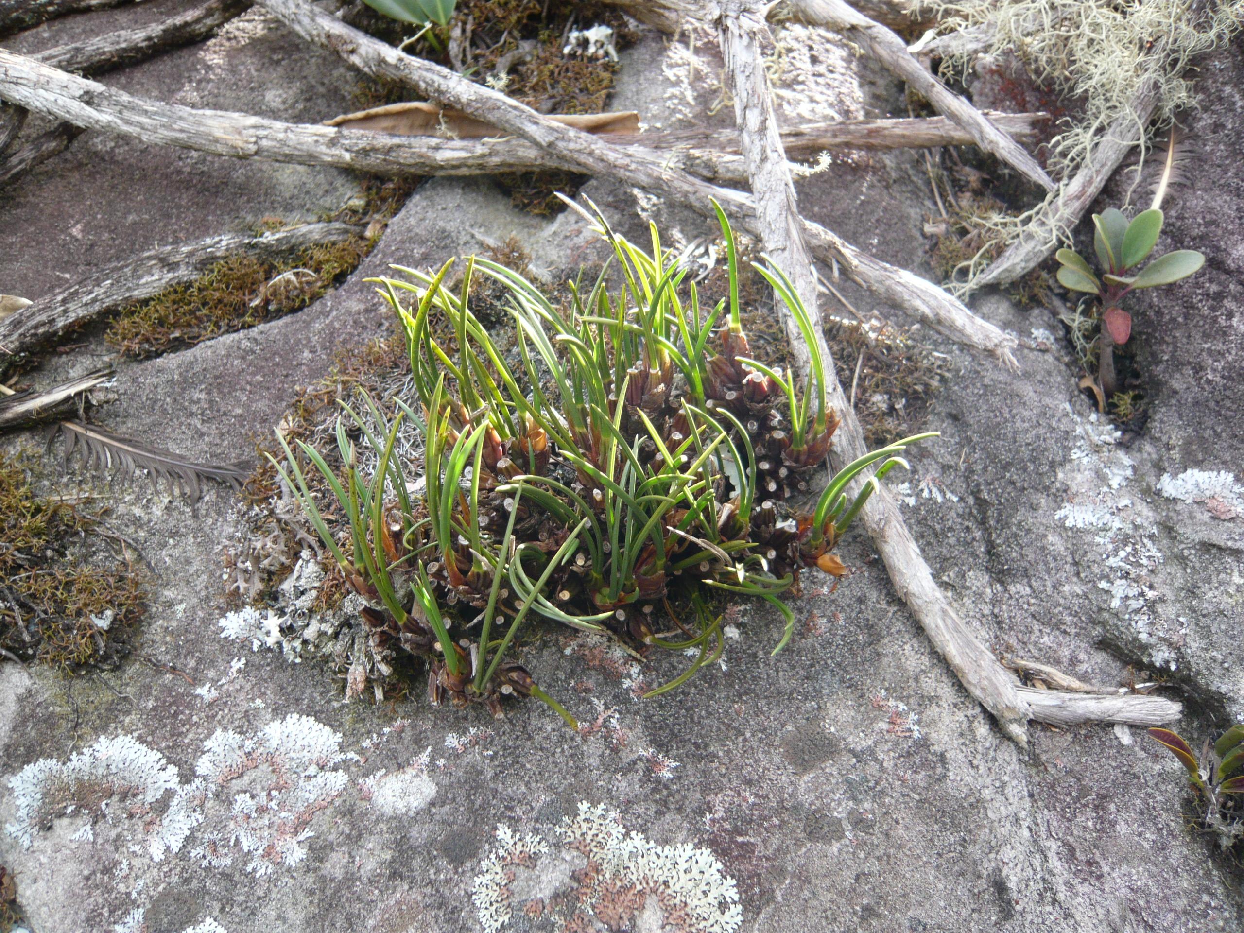 Maxillaria shunckeana