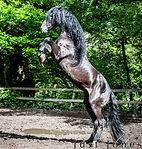 Fillm horse, lusitano, stallion,