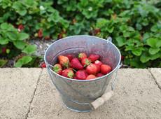 Strawberry Bucket 1200.jpg