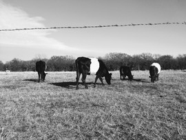cows - bw.jpg