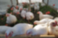 pastured-chicken1.jpg