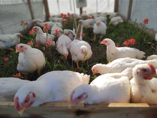 pastured-chicken1.jpg