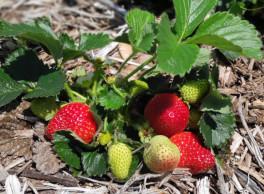 Strawberries 264x194.jpg