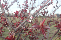 plum-flower.JPG