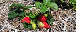 Slider - Strawberries.jpg