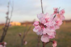 peach-flower.JPG