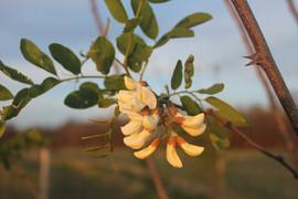 locust-flower.JPG