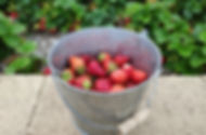 Strawberry Bucket 1200_edited.jpg