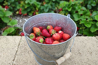 Strawberry Bucket 1200_edited.jpg