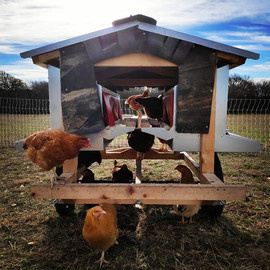 The hens investigating the egg cart.__#p