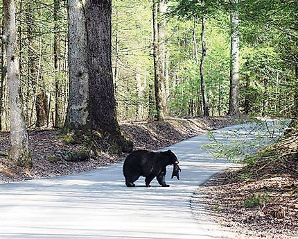 Momma bear in Cades Cove