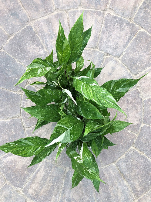 Spathiphyllum - Domino Peace Lily 6""