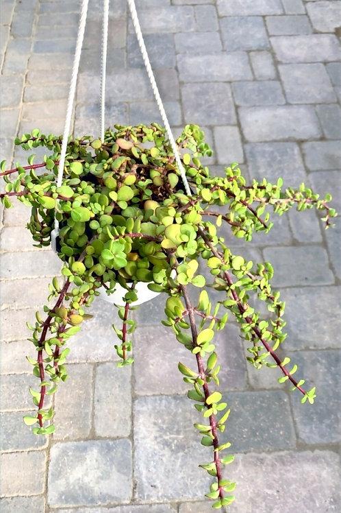 "Succulent - 6"" Hanging Basket Elephant Bush"