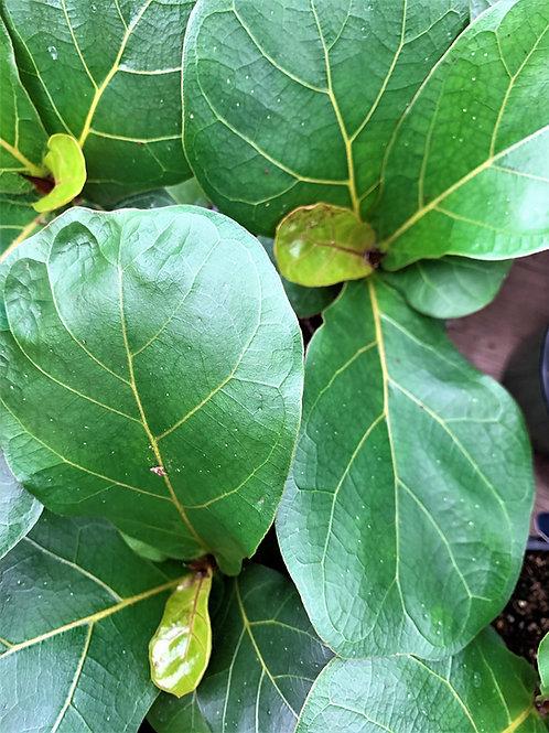 Ficus Lyrata - Dwarf Fiddle Leaf
