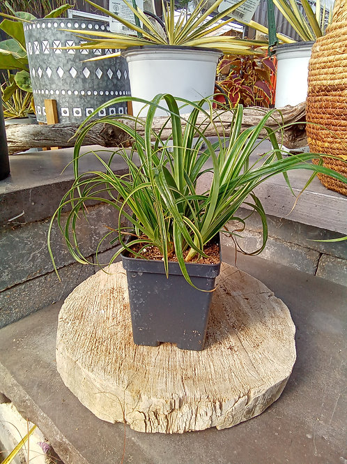Carex - Rekohu Sunrise