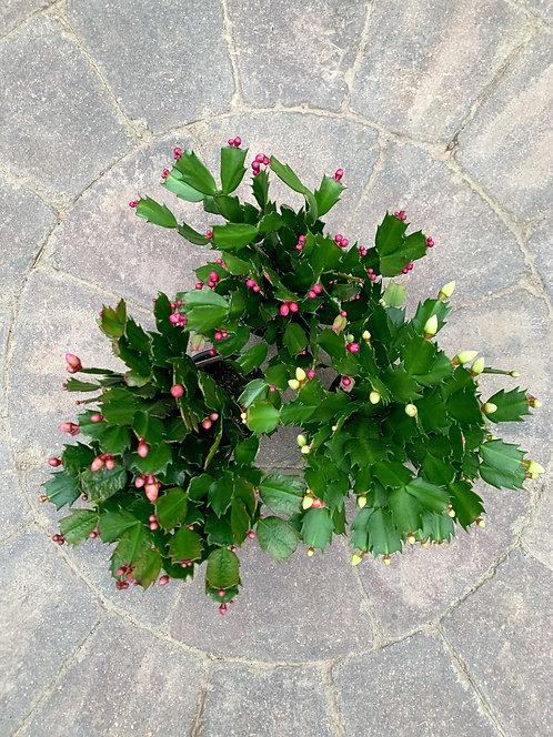 Schlumbergera Truncata - Zygo Cactus