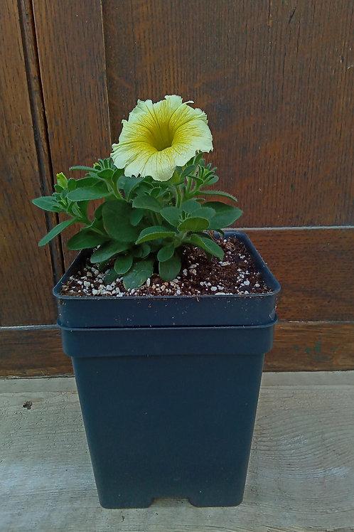 Petunia - Bee's Knees