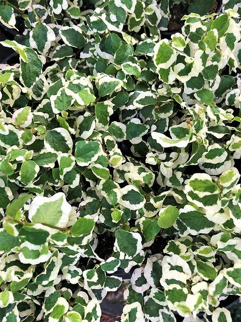 "Ficus - Creeping Fig Variegated 4"""