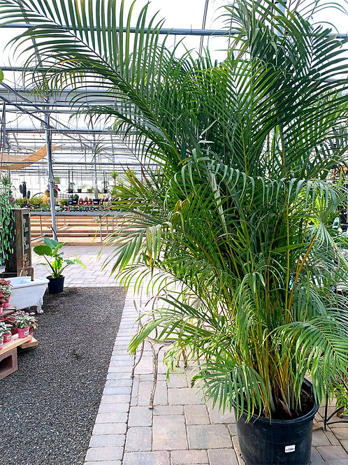 Palm - Areca