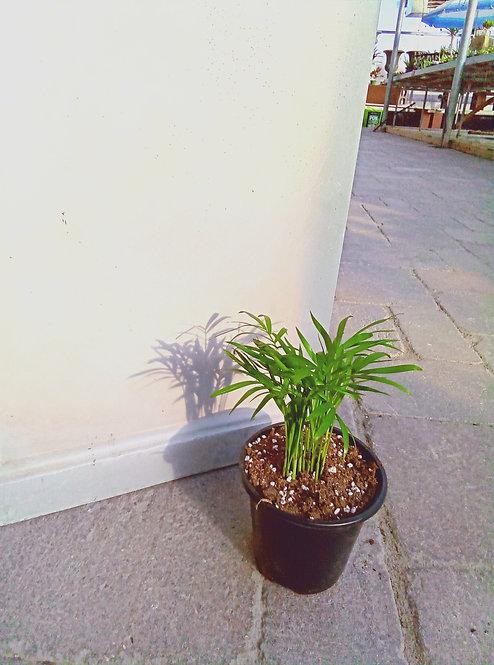 "Palm - Neanthe Bella 4"""