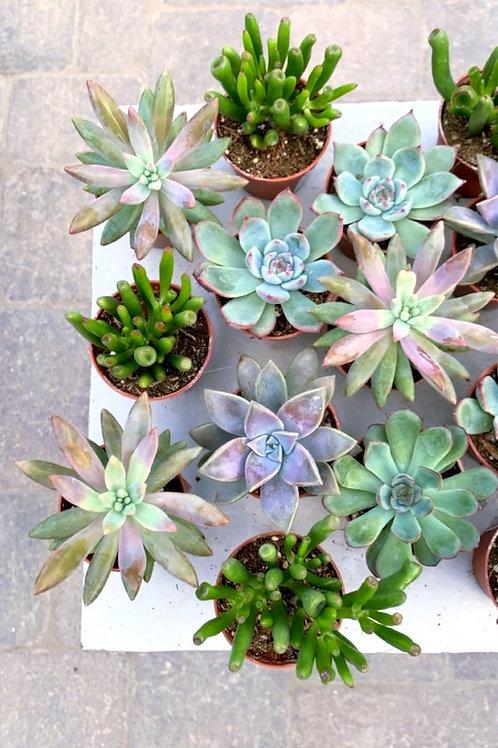 Succulents (mini) - Assorted