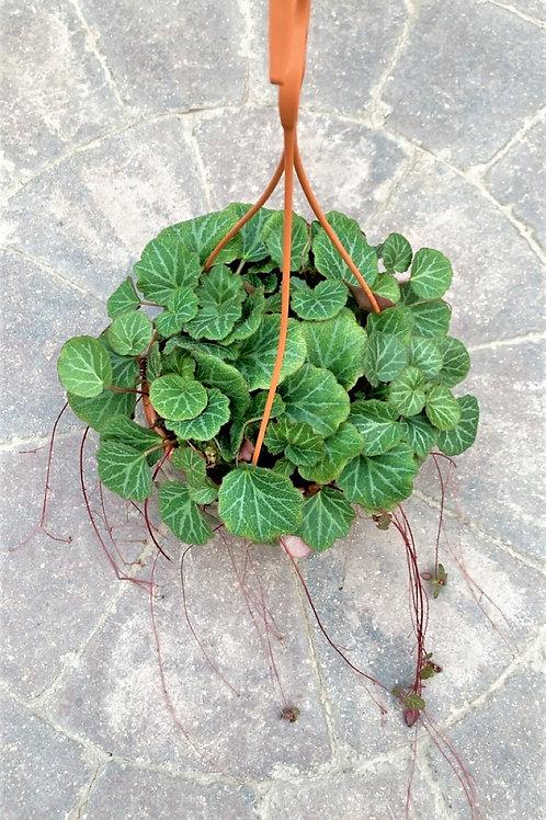 """Begonia - Strawberry 7"""" Hanging Basket"""