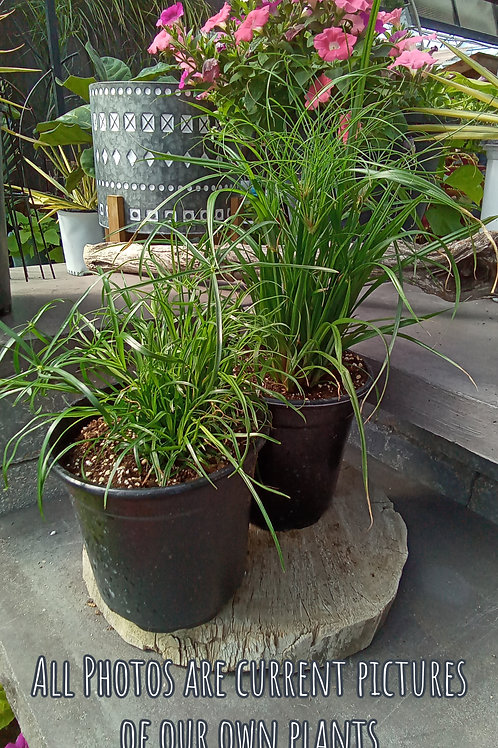 Cyperus Collection
