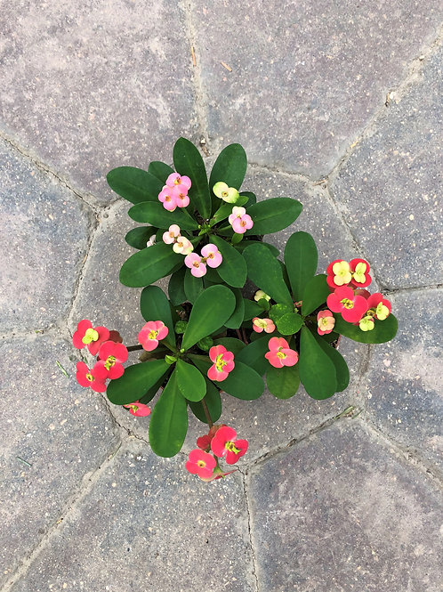 Euphorbia - Crown of Thorns Assorted 2""