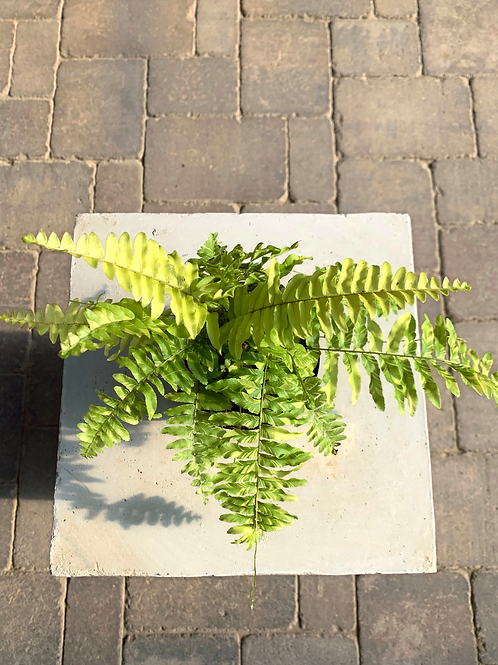 Nephrolepis Exaltata - Boston Fern 4""