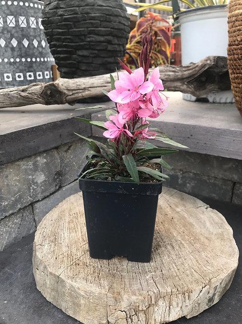 Gaura - Karalee Petite Pink
