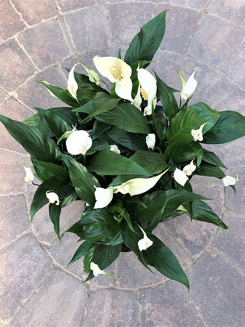 """Spathiphyllum - Peace Lily 6"""""""