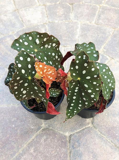 Begonia Maculata - Polka Dot