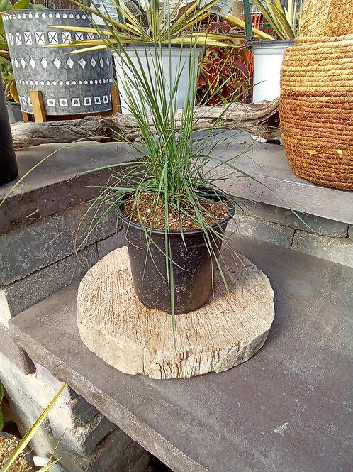 Muhlenbergia Capillaris - Pink Hair Grass