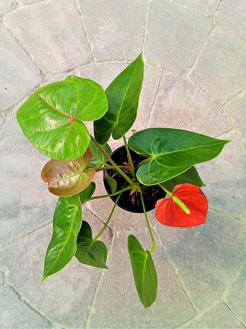 """Anthurium - Flamingo Flower 4"""""""