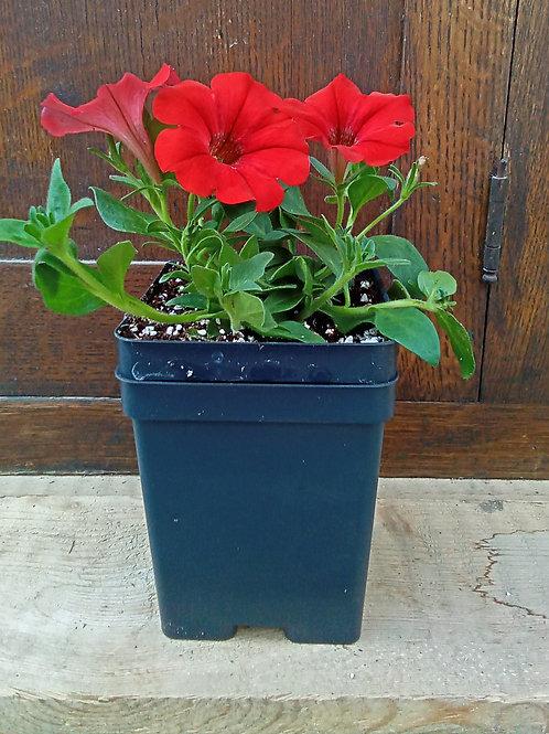 Petunia - Supertunia Collection