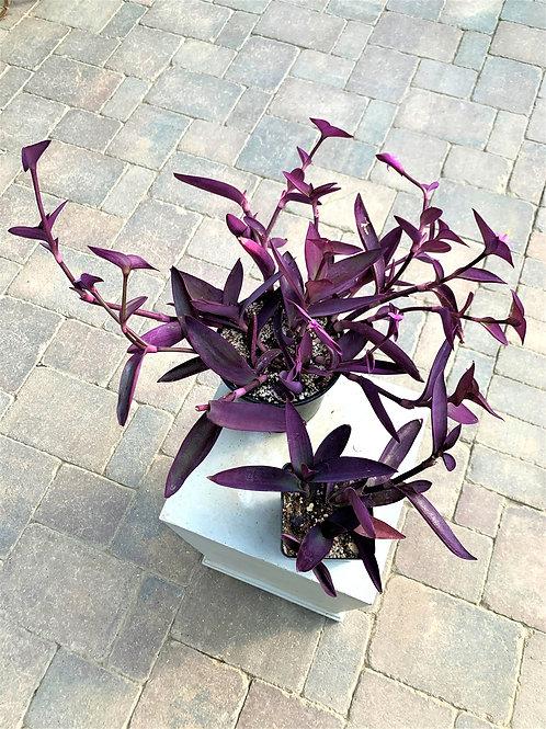 Setcreasea - Purple Heart 1G