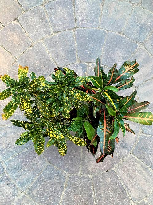 """Croton - Codiaeum Variegatum 6"""""""