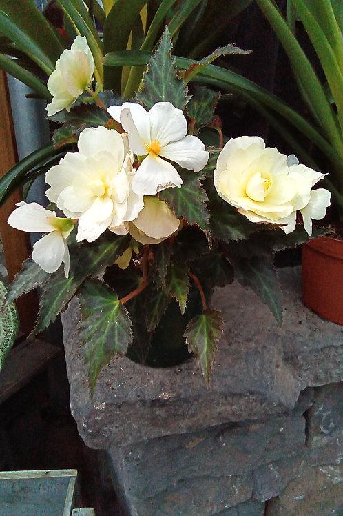 L`conia Begonias