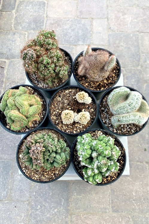 """Cacti - Monster Collection 5"""""""